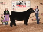 Res Maine Steer