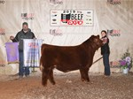 Res Simmental Steer